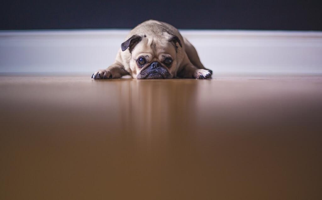 На фото мопс лежит на полу в квартире.